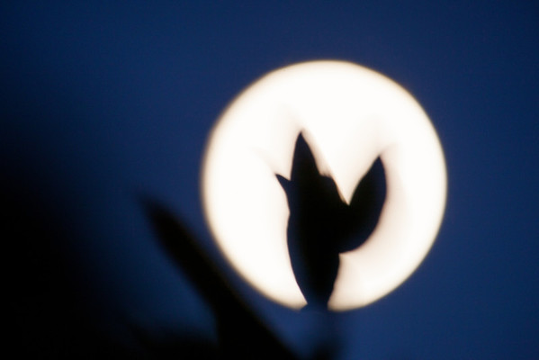 Day 151/881 - Making shadow puppets with the moon.  Does anyone see a humming bird?